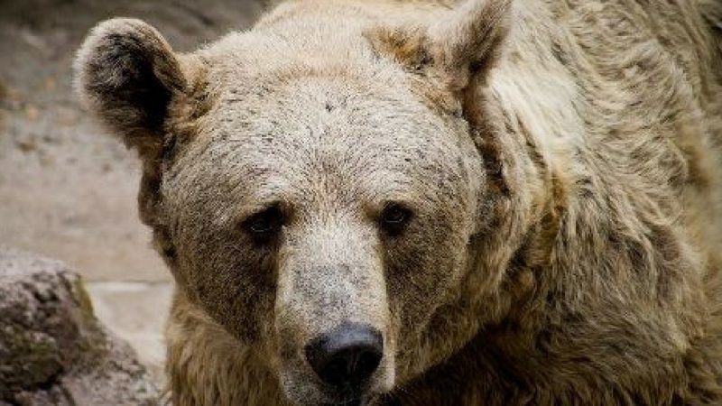Rare brown bear dies, Bear, Brown, Death, Died, Animal