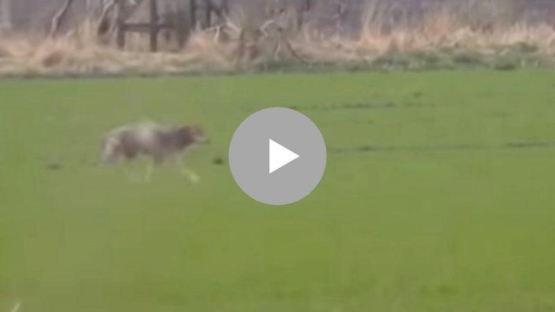 Wolf, Denmark, Wild, Wild Animal, Animal