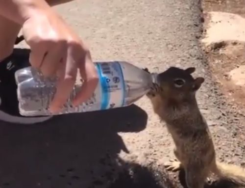 Thirsty Squirrel Drinks Water from a Tourist's Bottle